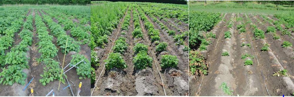 Foto van aardappelpopulaties in zoete (links) en zoute omstandigheden (midden en rechts) (Heselmans et al., 2017).